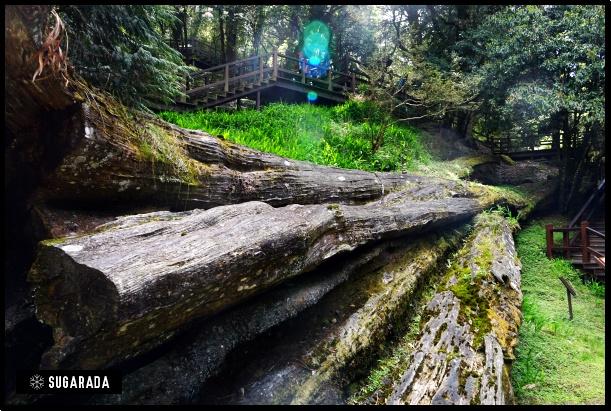 阿里山 享受神木森林浴