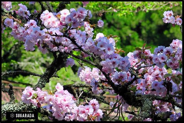 阿里山 遇上櫻花當主角的季節