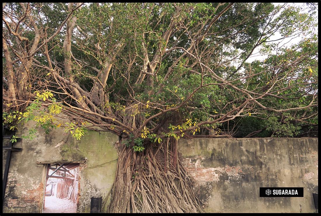 台南 安平樹屋 -  人、自然和歷史的融洽共處