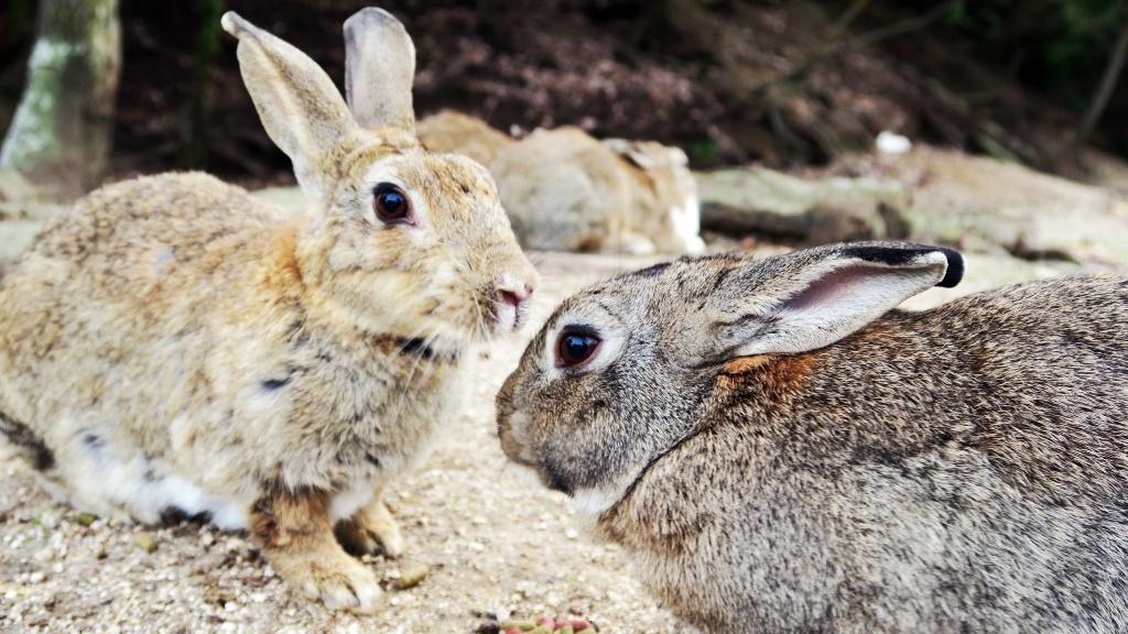 日本 大久野島 : 萌萌噠兔子樂園